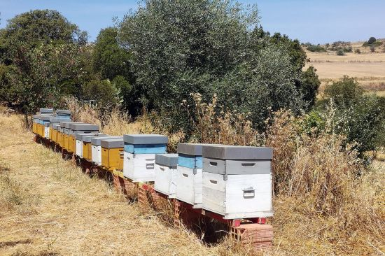 Some of the beehives looked after by Luigi Manias, an organic apiarist in Ales, Sardinia (photo © Jan Fuscoe).