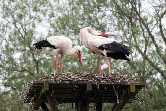 White storks (Ciconia ciconia) in the village of Čigoć, Lonjsko polje nature park, Croatia (photo © Rudolf Abraham).