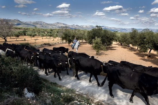 Cattle en route to the Ebro delta in northeast Spain. The cows are following the route of a traditional cañada,but one which has been sacrificed to modernity by being asphalted for motor traffic (photo © Diego Vivanco).