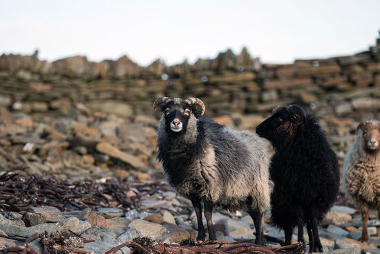 Sheep on North Ronaldsay, in the Orkney archipelago, with the drystone wall that encircles the entire island in the background (photo © Orkney.com).